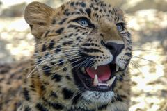 Beautiful leopard roars stock photos