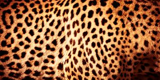 Beautiful leopard skin background. Natural orange fur with black spots, wild African animal skin pattern royalty free stock photography