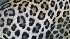 Beautiful Leopard skin texture background natural pattern. Beautiful Leopard skin texture background natural pattern, Blank for design royalty free stock image