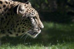 Beautiful leopard Royalty Free Stock Photos