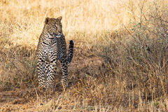 Beautiful Leopard in the Wild. Beautiful leopard in the african savannah. Scientific name: Panthera pardus royalty free stock images