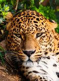 Beautiful leopardess Royalty Free Stock Image