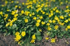 Free Beautiful Lesser Celandine Flowers. Ranunculus Ficaria Stock Photo - 179634580