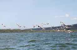 Beautiful Lesser Flamingos at Lake Naivasha Royalty Free Stock Image