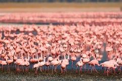 Beautiful lesser flamingos Stock Images
