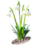 Beautiful leucojum snowdrops spring flowers isolated on soil Stock Photo