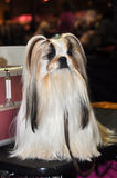 Beautiful Lhasa Apso dog. The Lhasa Apso is a non-sporting dog breed originating in Tibet. The texture of the coat is heavy, straight, hard, neither woolly nor Stock Images