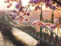 Beautiful Liberty Bridge at sunrise with cherry blossom in Budapest, Hungary. Spring has arrived to Budapest royalty free stock photo
