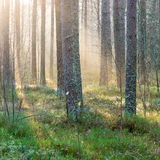 Beautiful light beams in forest through trees Stock Photo
