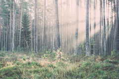 Beautiful light beams in forest through trees. Vintage. Stock Images