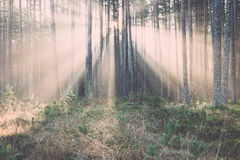 Beautiful light beams in forest through trees. Vintage. Royalty Free Stock Image
