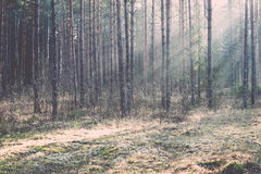 Beautiful light beams in forest through trees. Vintage. Royalty Free Stock Photos