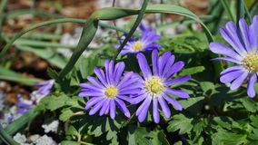 Beautiful blue Anemone Apennina flowers on green grass background close up. Beautiful light blue Anemone Apennina flowers on green grass background close up stock image