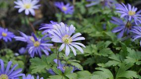 Beautiful blue Anemone Apennina flowers on green grass background close up. Beautiful light blue Anemone Apennina flowers on green grass background close up royalty free stock images