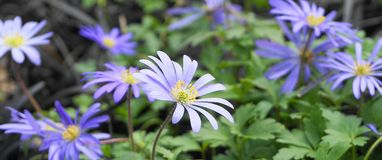 Beautiful blue Anemone Apennina flowers on green grass background close up. Beautiful light blue Anemone Apennina flowers on green grass background close up stock images