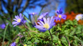 Beautiful light blue Anemone Apennina flowers meadow close up. Colourful background stock photography