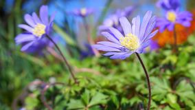 Beautiful light blue Anemone Apennina flowers meadow close up. Colourful background stock photos