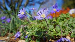 Beautiful light blue Anemone Apennina flowers meadow close up. Colourful background stock photo