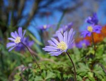 Beautiful light blue Anemone Apennina flowers meadow close up. Colourful background royalty free stock photography