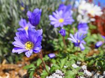 Beautiful light blue Anemone Apennina flowers meadow close up. Colourful background stock images