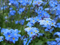 Beautiful Light Blue Forget me not Flowers Blossom At Park Garden royalty free stock image