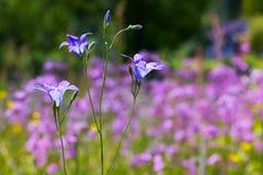 A beautiful light blue Harebell flower Campanula rotundifolia royalty free stock images