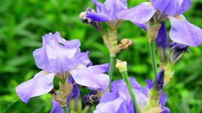 Beautiful light blue irises on flower bed stock video footage