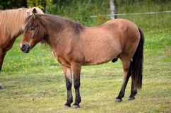 Beautiful light brown horses on green lush summer pasture Royalty Free Stock Image