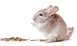 Gray chinchilla on white background, funny animal, chinchilla. Beautiful light gray chinchilla on white background, chinchilla on white background, cute homemade royalty free stock photos