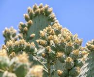 Beautiful light orange flowers of cactus. Royalty Free Stock Photos