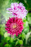 Beautiful light pink aster on blurred garden flowers bed background Royalty Free Stock Photo