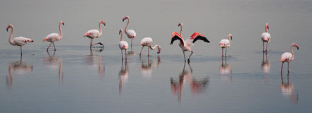 Beautiful light on pink flamingo group Stock Image