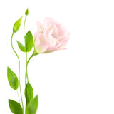 Beautiful  Flower with Buds isolated on white /  Eustoma ( Lisia Royalty Free Stock Photo