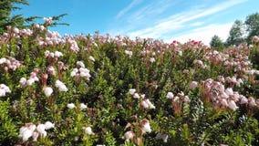 Beautiful light pink flowers in summer sunshine panning left stock video