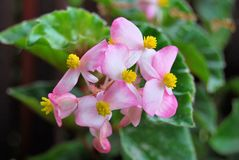 Beautiful light pink impatiens flower with yellow royalty free stock photos