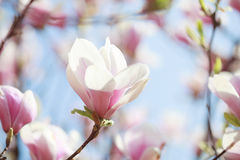 Beautiful light pink magnolia flower. Stock Photos