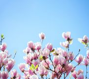 Beautiful light pink magnolia flowers on blue sky background. Shallow DOF.  royalty free stock photos