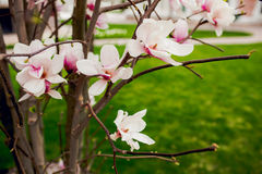 Beautiful light pink magnolia flowers on green grass Stock Photo