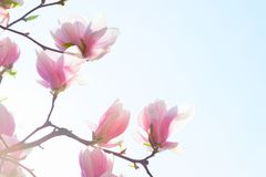 Free Beautiful Light Pink Magnolia Flowers On Blue Sky Background. Low Angle View. Toned Image Stock Images - 109587674