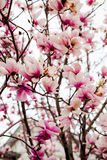 Beautiful light pink magnolia flowers Stock Photography