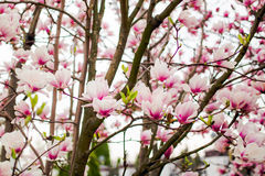 Beautiful light pink magnolia flowers Royalty Free Stock Photography