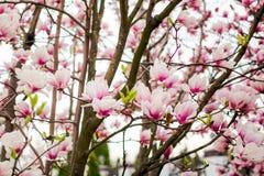 Beautiful light pink magnolia flowers Royalty Free Stock Photography