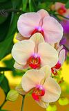 Beautiful light pink orchids in garden stock photography
