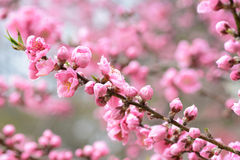 Beautiful light pink peach blossoms during spring in Japan Royalty Free Stock Photo