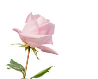 Beautiful light pink rose in a garden Stock Images