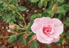 Beautiful light pink rose from top-down angle with some buds and image comes with lipping path around flower. Beautiful light pink rose from top-down angle with royalty free stock photography