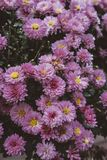 Beautiful light purple asters in a garden royalty free stock photo
