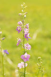 Beautiful light purple Larkspur blooming Royalty Free Stock Images
