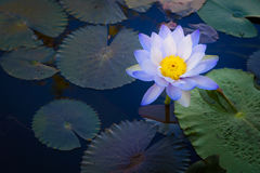 Beautiful light purple lotus flower with leaves in pool on dark Stock Image