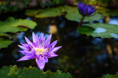 Beautiful light purple lotus flower with leaves in pool on dark Royalty Free Stock Image